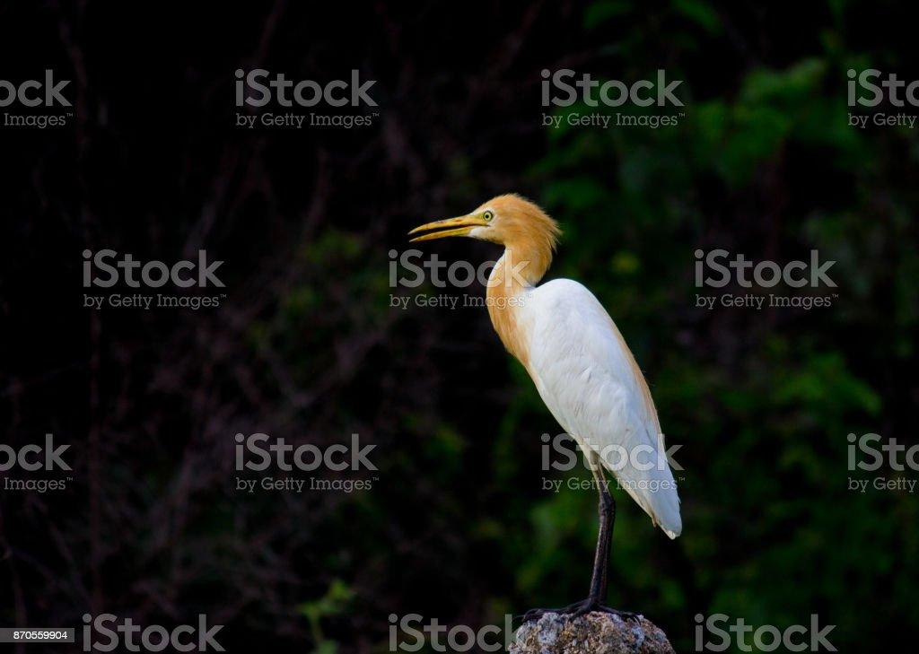 Cattle Egret stock photo
