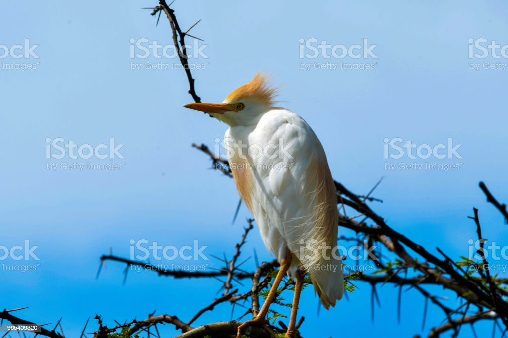Cattle Egret zbiór zdjęć royalty-free