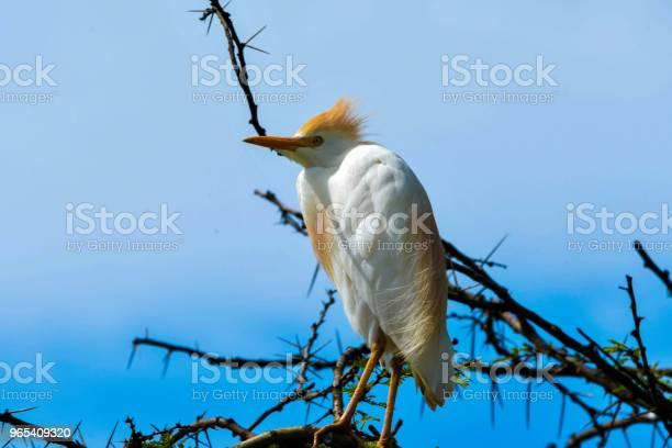 Foto de Gado Egret e mais fotos de stock de Animal selvagem