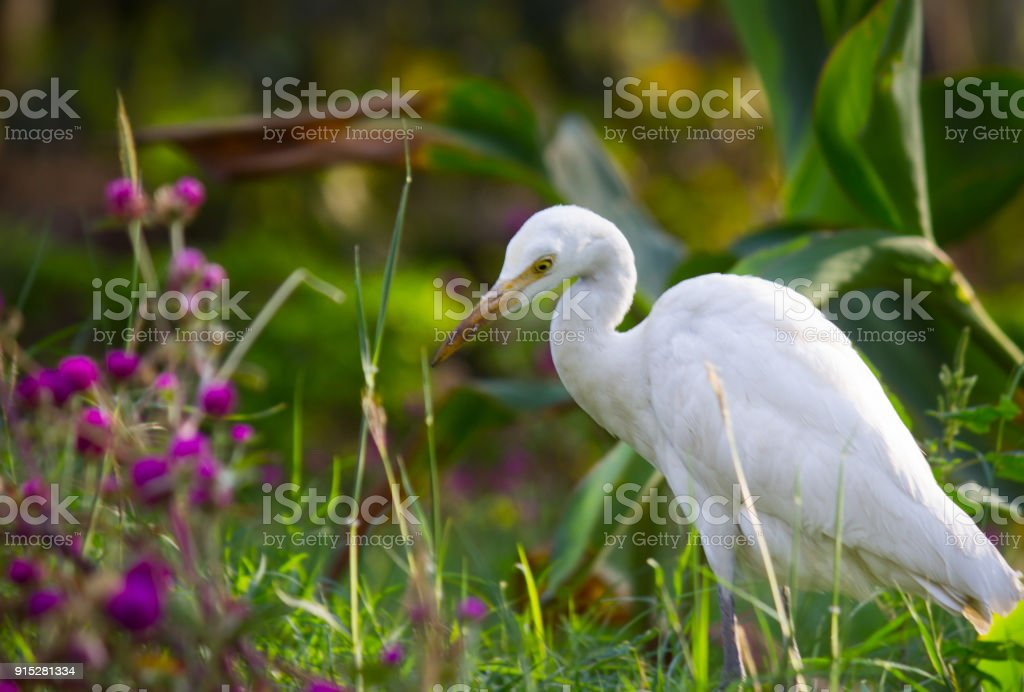 Cattle Egret with flowers stock photo