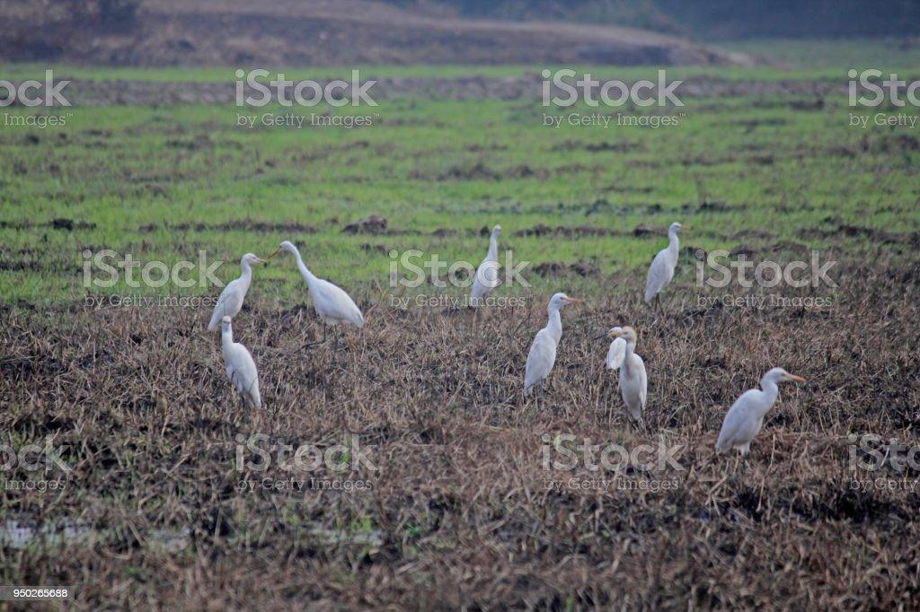 Cattle Egrets Bubulcus ibis, paddy field, Goa, India stock photo
