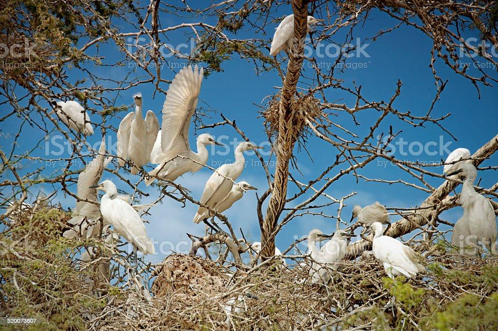Cattle Egrets stock photo