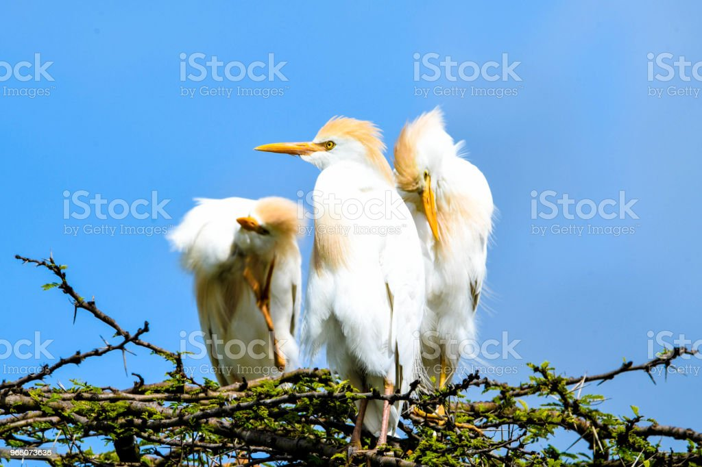 Cattle Egrets royalty-free stock photo