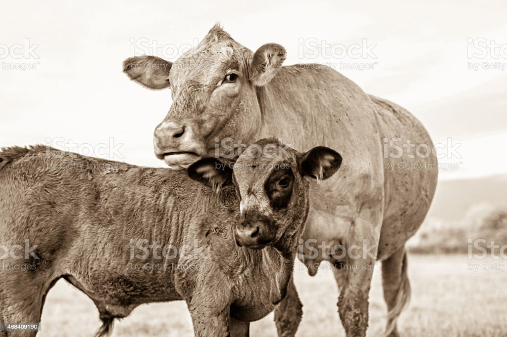 Cattle family stock photo