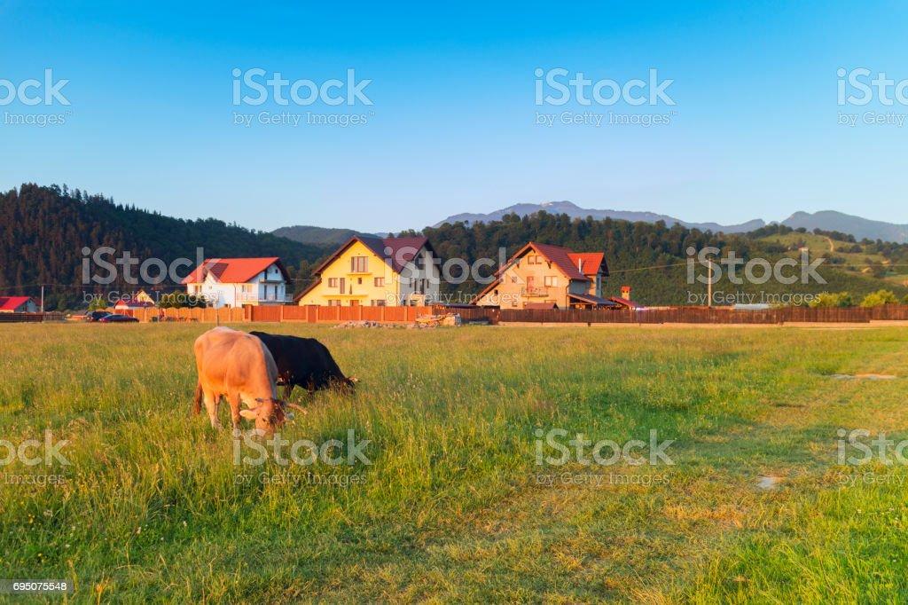 cattle farm in Rasnov Romania stock photo