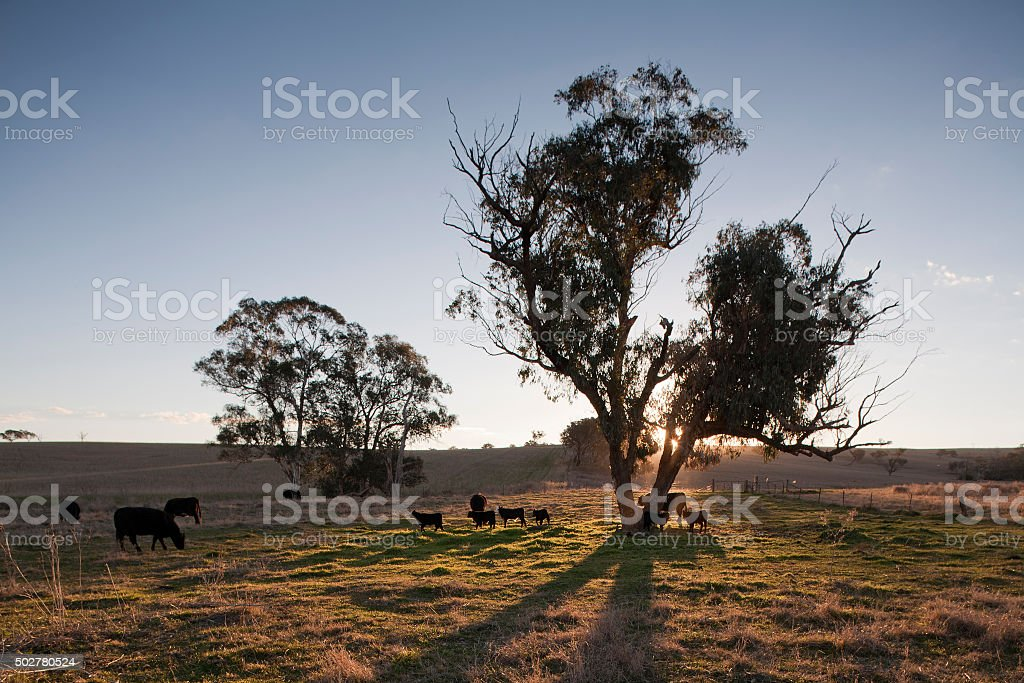 cattle farming australia stock photo