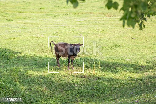 cattle feed on the grass field in east asia
