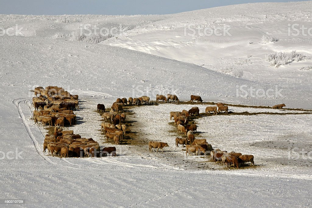 Cattle feeding in winter stock photo