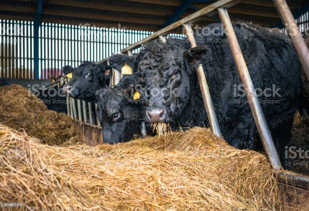Rinderfütterung drinnen im winter – Foto