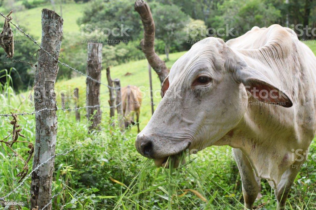 Cattle feeding on grass. stock photo