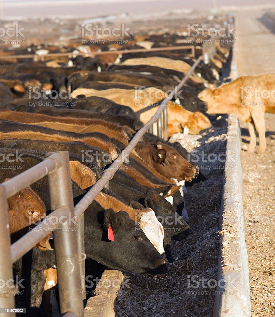 Cattle Feedlot royalty-free stock photo