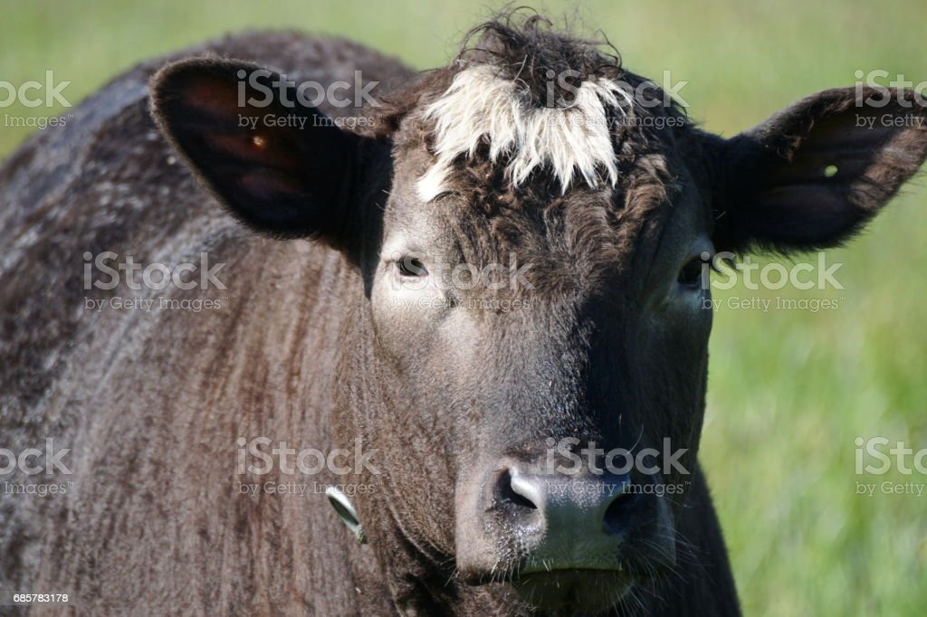 Cattle frontview portrait of a black Ox with white curls, Bavaria Germany. royalty-free stock photo