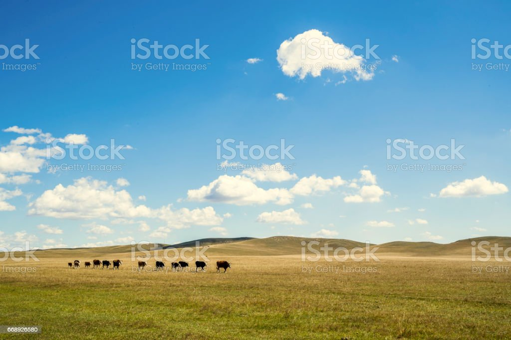 Cattle Graze in a Sunny  Pasture stock photo