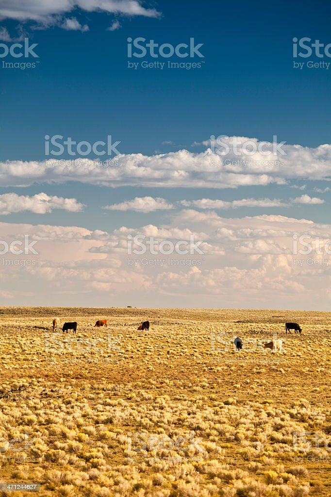 Cattle graze on the landscape stock photo