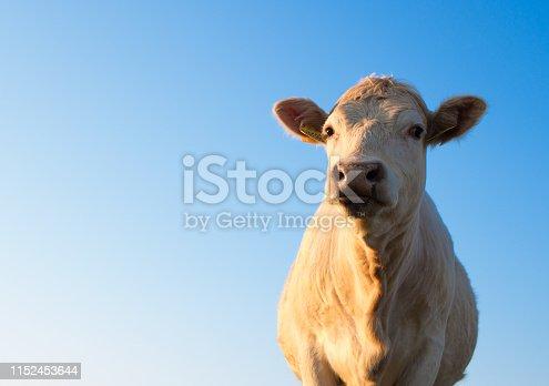 istock Cattle grazing at sunrise 1152453644