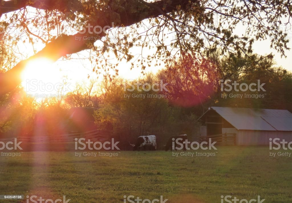 cattle grazing by shed in rural scene stock photo