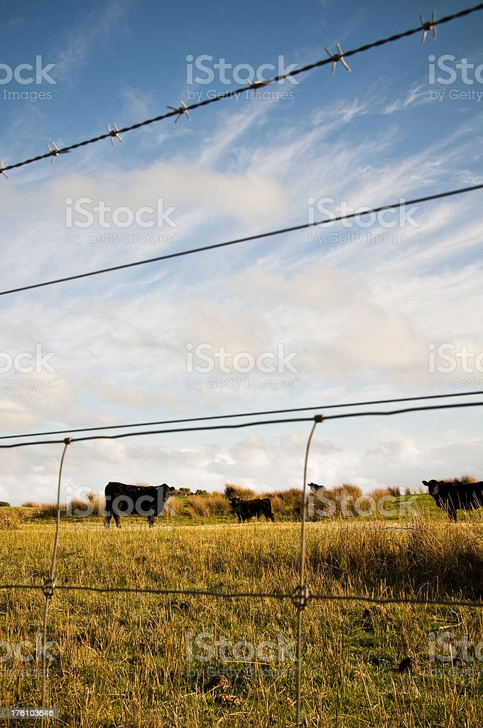 Cattle Grazing Farm Paddock Wire Fence South Australia Stock Photo ...