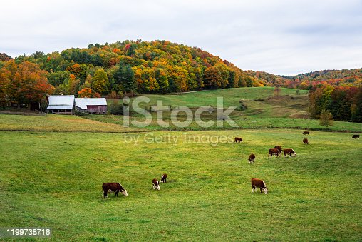 488912426istockphoto Cattle grazing in a field with hills covered in collourful trees at the peak of fall foliage in background 1199738716