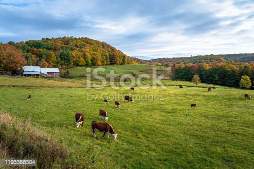 488912426istockphoto Cattle grazing in a grassy field in the countryside of Vermont on a cloudy autumn morning 1193388304