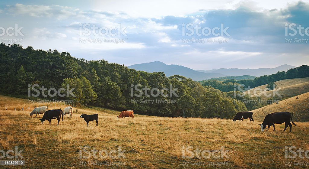 cattle grazing in a small valley stock photo
