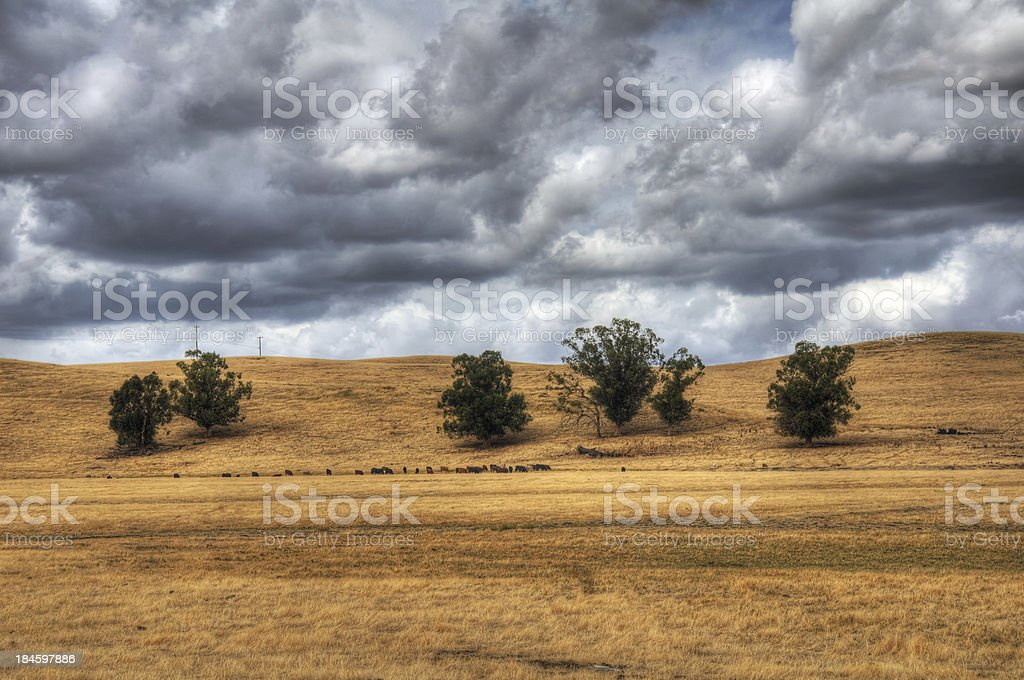 Cattle Grazing in the Country (HDR) stock photo