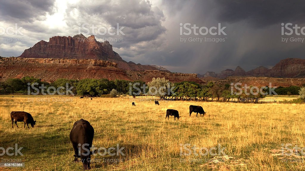 Cattle grazing Mount Kinesava monsoon storms rising above Rockville Utah – Foto