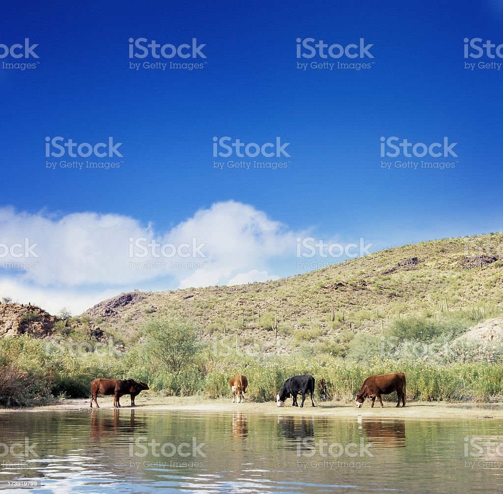 Cattle grazing next to lake Saguaro in Arizona stock photo