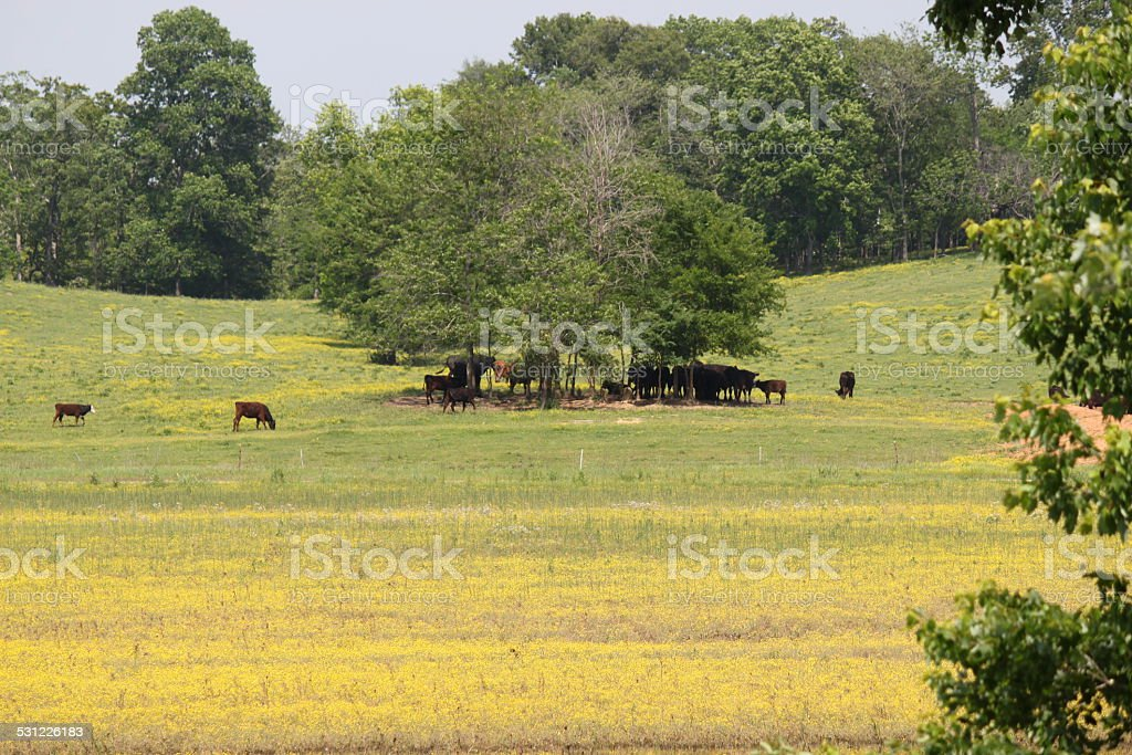 Cattle grazing on farm stock photo