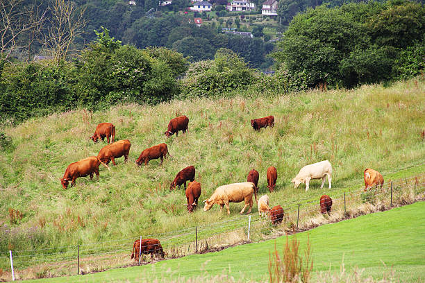 Cattle Grazing on Farmland Cattle Grazing on Farmland near Dieppe, Normandy, France dieppe france stock pictures, royalty-free photos & images