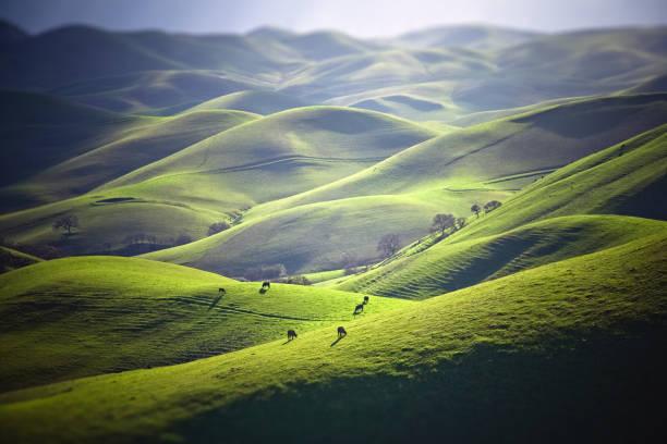 bestiame al pascolo sulle colline erbose - collina foto e immagini stock