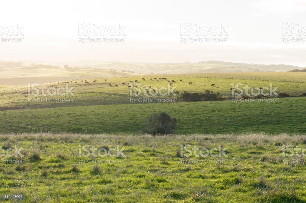 Cattle Grazing on Random Farmland in the Fleurieu Peninsula, South Australia stock photo