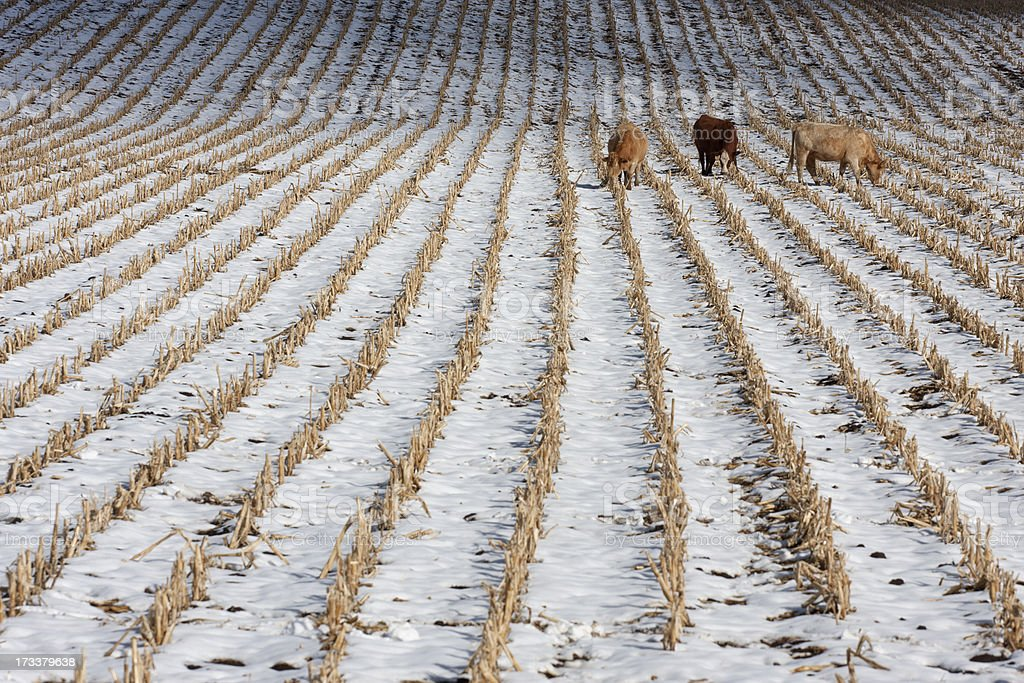 Cattle grazing on snow covered harvested corn field royalty-free stock photo