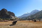 Cattle grazing, Annapurna circuit, Nepal