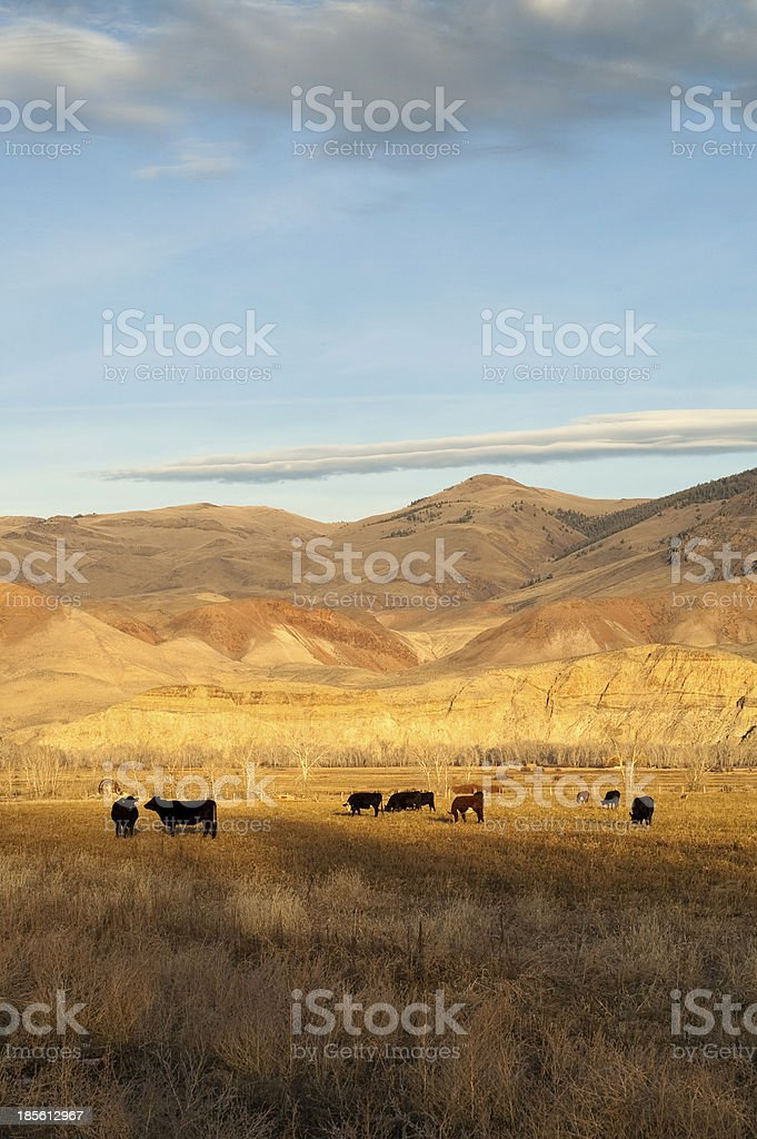 Cattle Grazing Ranch Livestock Farm Animals Western Mountain Lanscape royalty-free stock photo