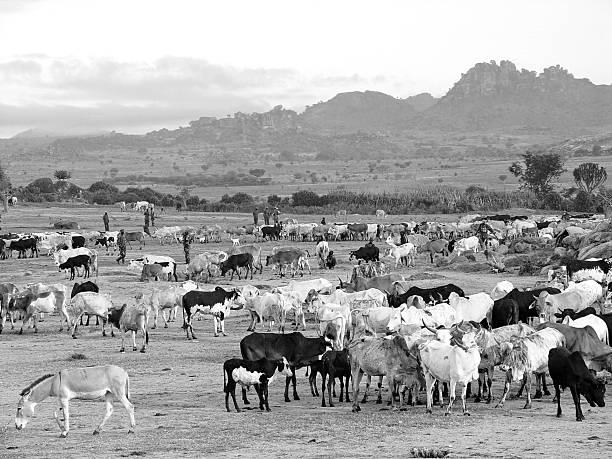 Cattle herd, early morning in Kaabong, Uganda stock photo
