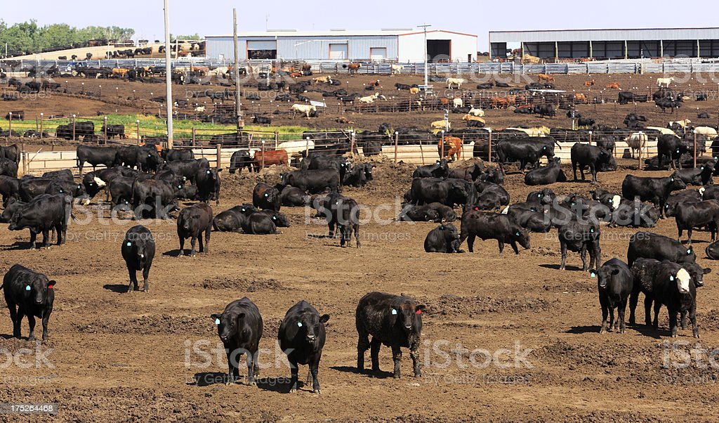 Cattle herd in dry Kansas feedlot stock photo