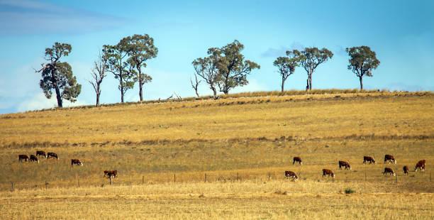 Cattle herd near Dubbo New South Wales Australia stock photo