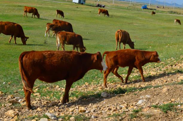 Cattle herd of the grasslands – zdjęcie