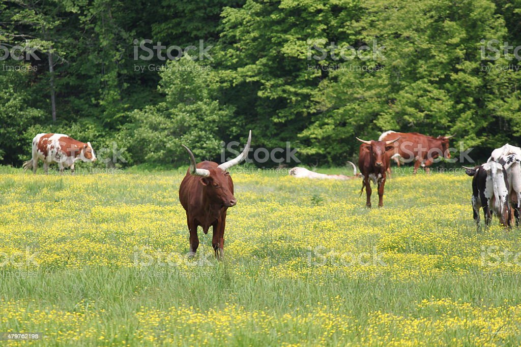 Cattle herd on a farm stock photo