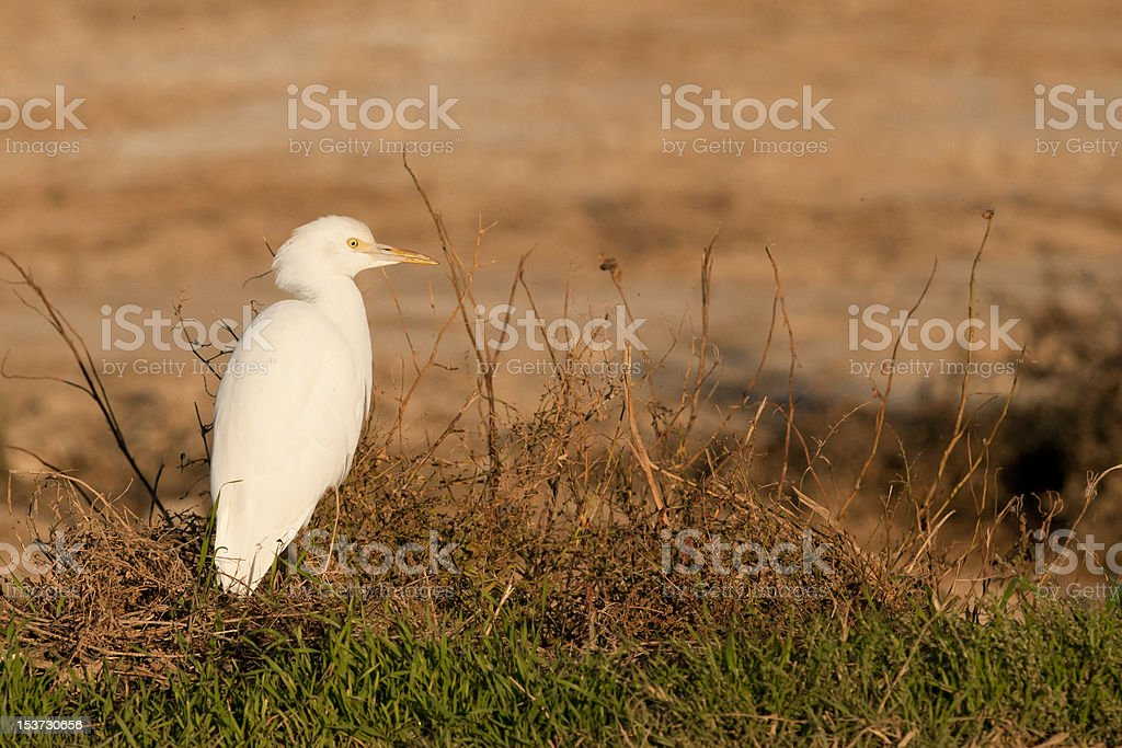 Cattle Heron stock photo
