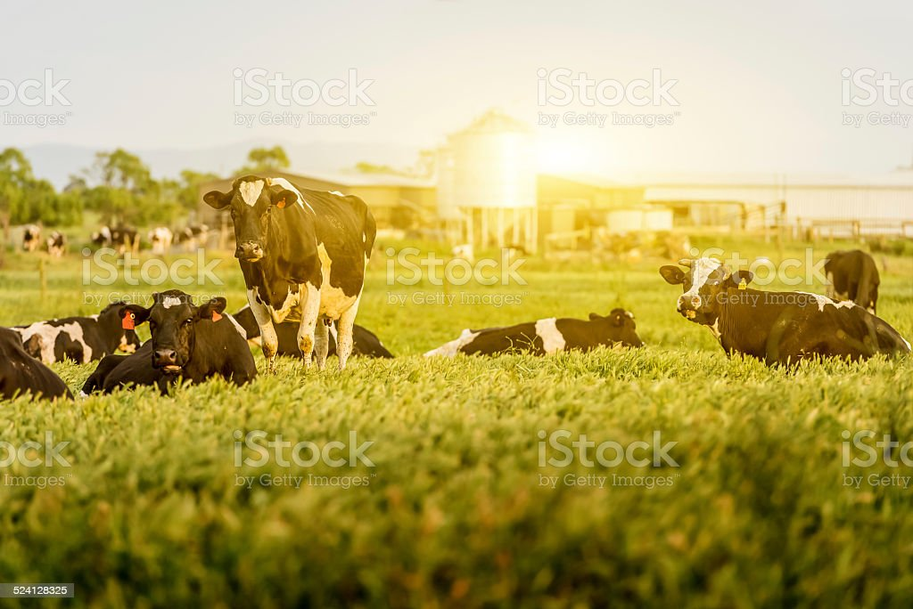 Cattle in a Field with Sunlight stock photo