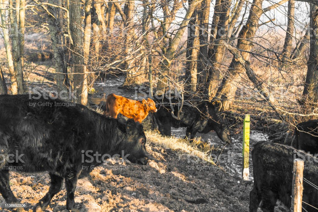 Cattle in a forest drinking of a small river stock photo