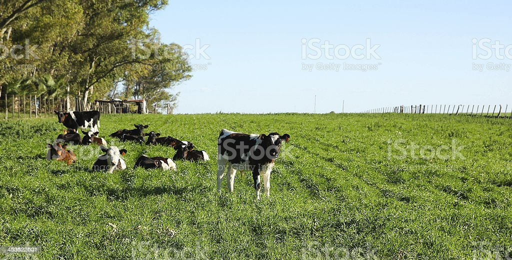 Cattle in a paddock, royalty-free stock photo