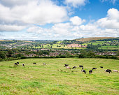 Cattle In A Rolling Countryside Landscape In The Cotswolds, England