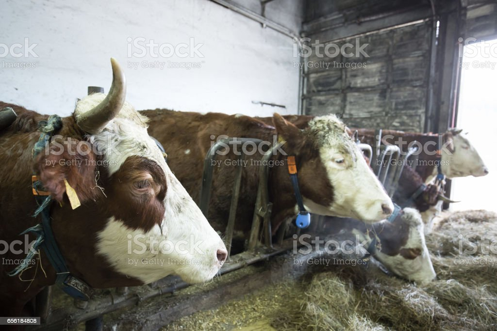 Bir ahır bir çiftlikte sığır stok fotoğrafı