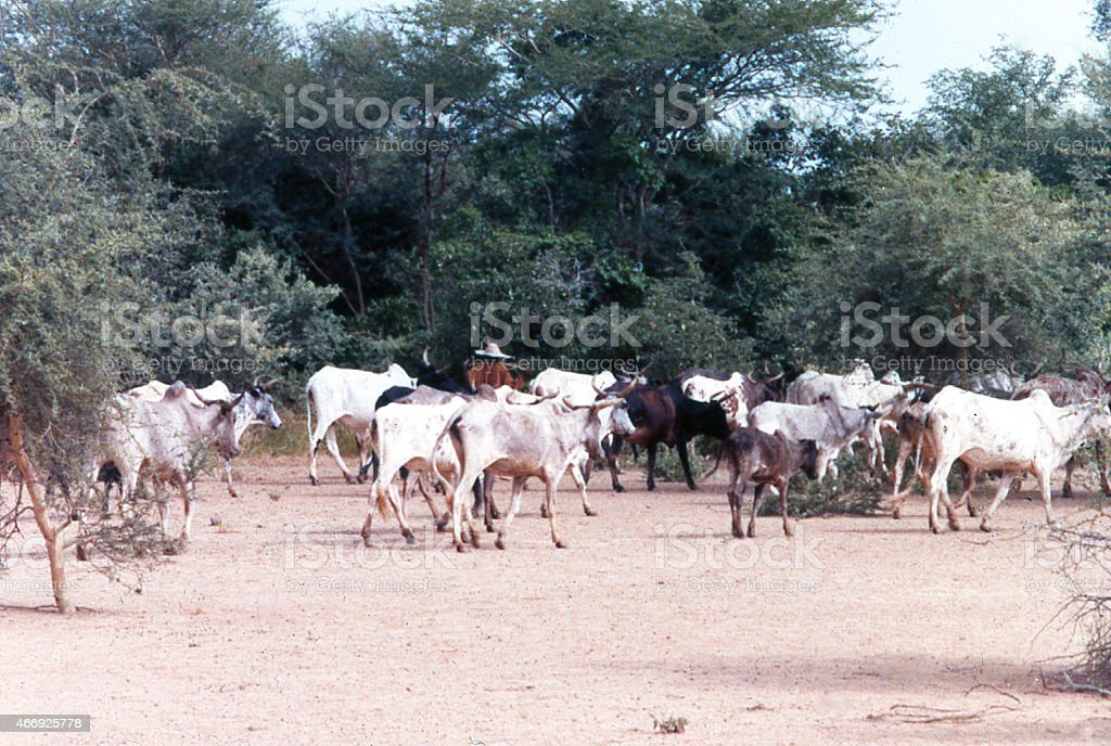 Cattle in Acacia Woodland and Claypan Burkina Faso West Africa stock photo