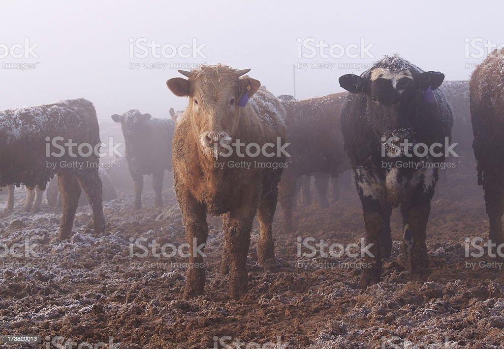 cattle in feedlot stock photo