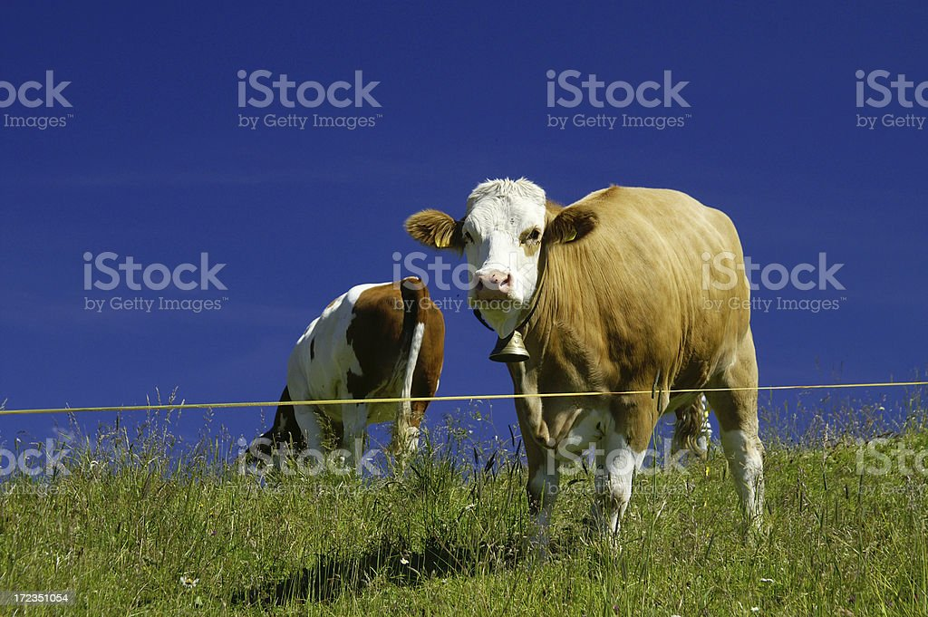 Cattle in front off a blue sky royalty-free stock photo