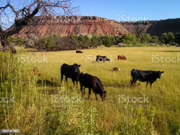 Photo of Cattle in green pastures below Rockville Mesa near Zion National Park Utah