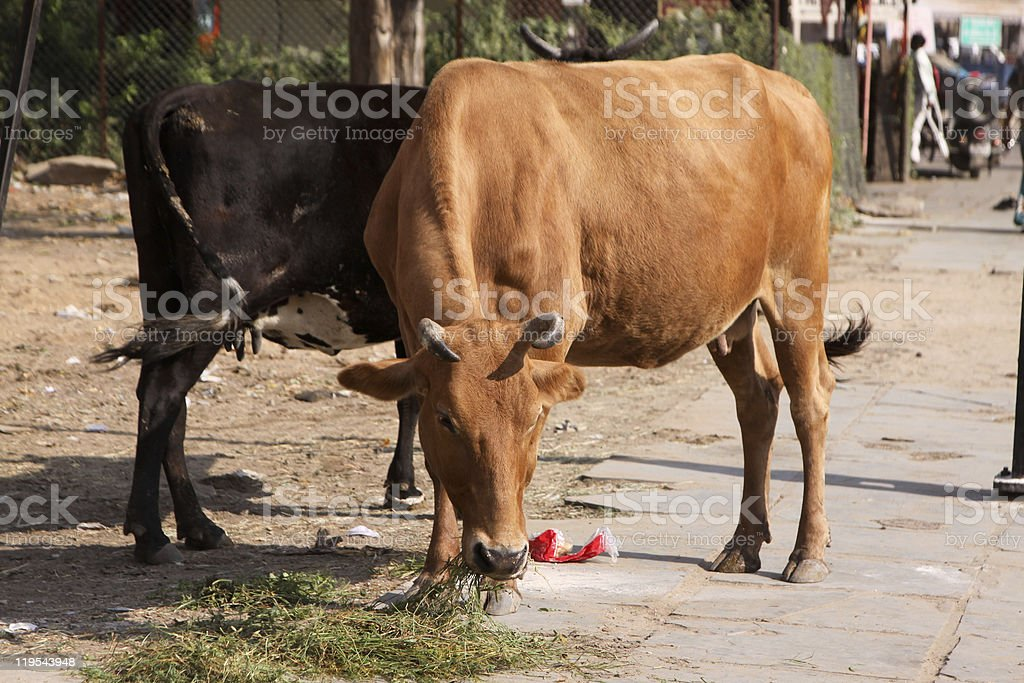 Cattle in Jaipur, India royalty-free stock photo